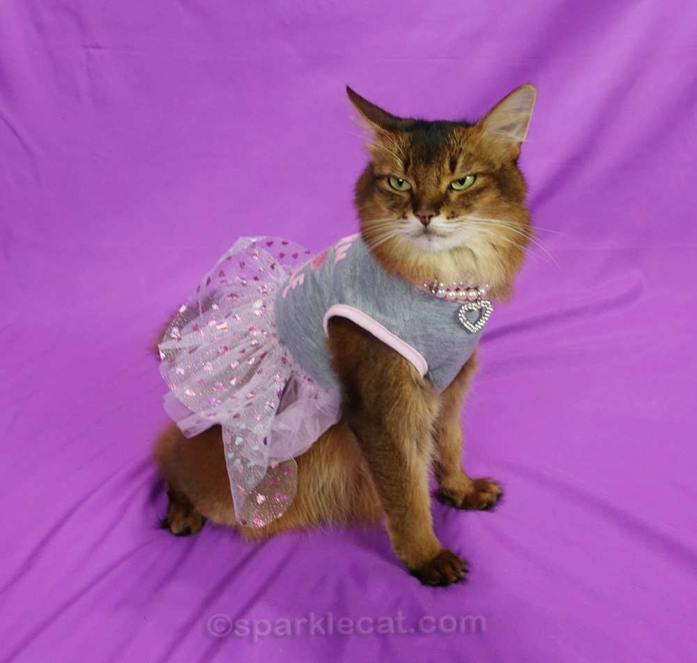 Somali cat with half airplane ear while modeling a dress