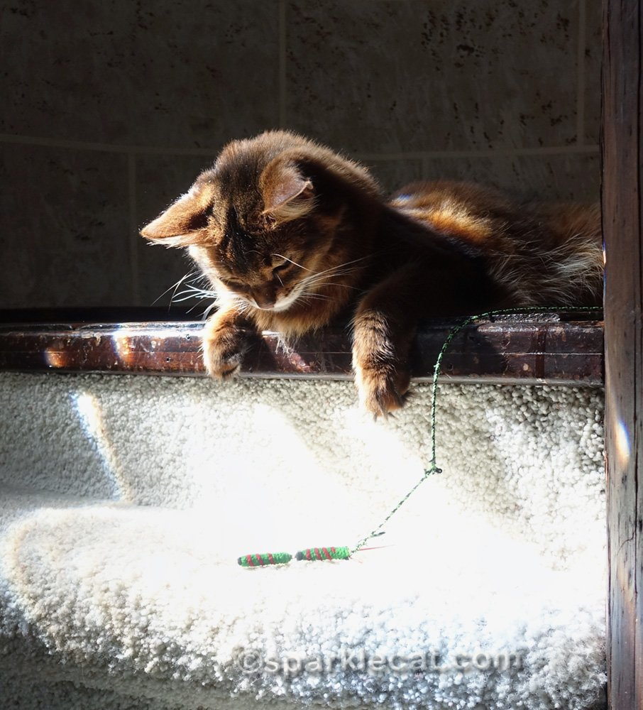 somali cat in turret, playing with toy on stairs
