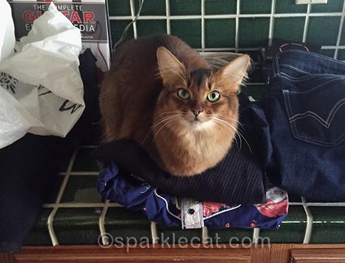 somali cat on unpacked clothing