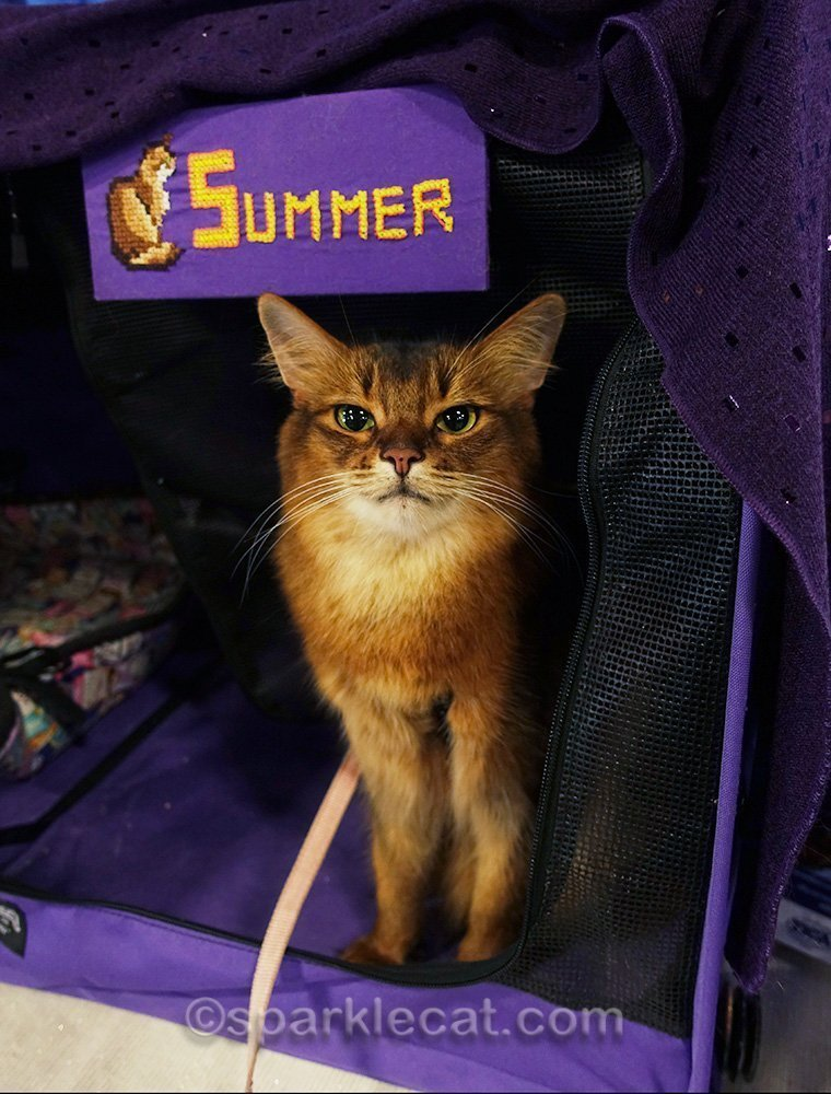 somali cat in her show enclosure