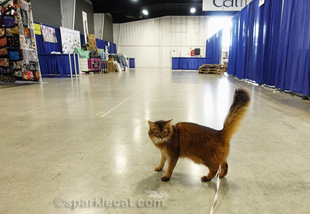 somali cat on a leash day before pet expo opens