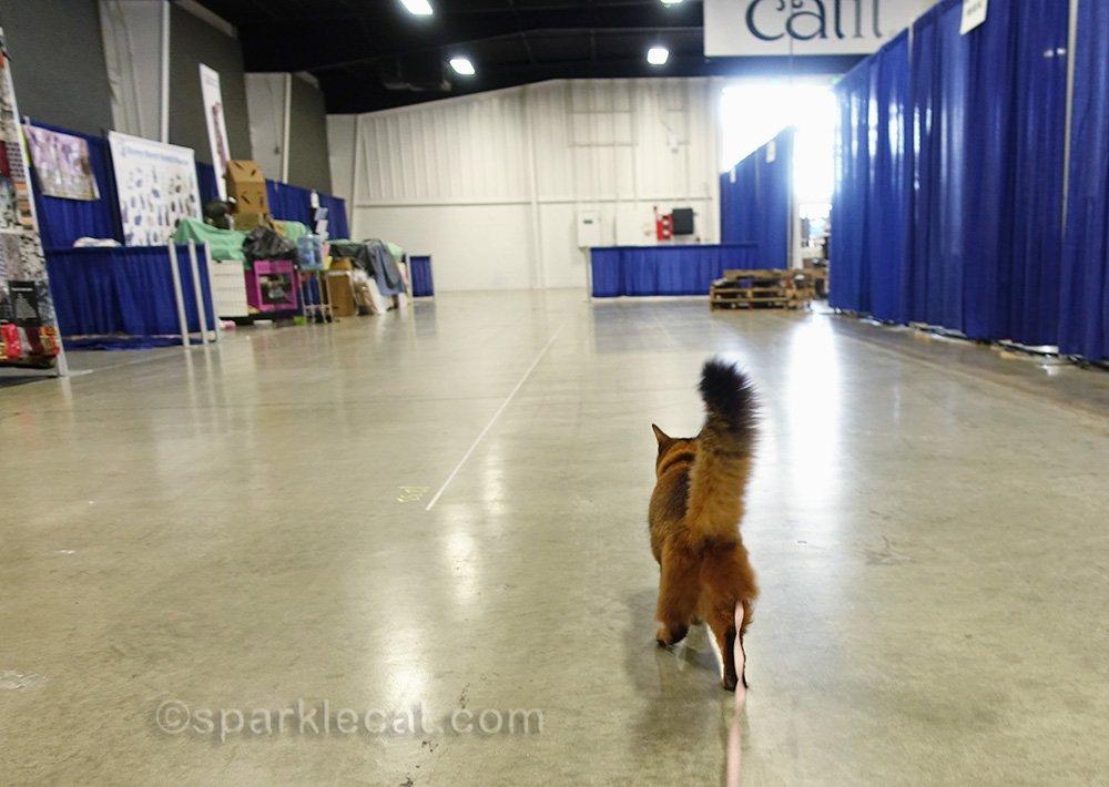 somali cat strolling on leash