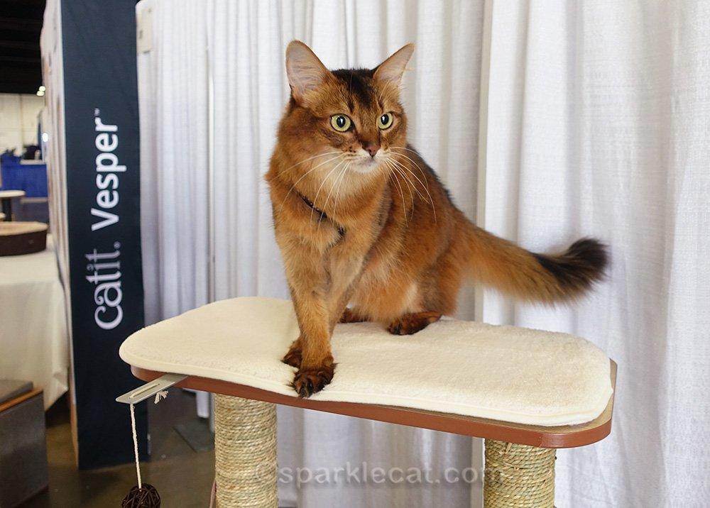 somali cat on Catit furniture