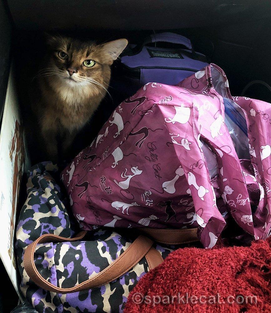 somali cat taking a break in the car