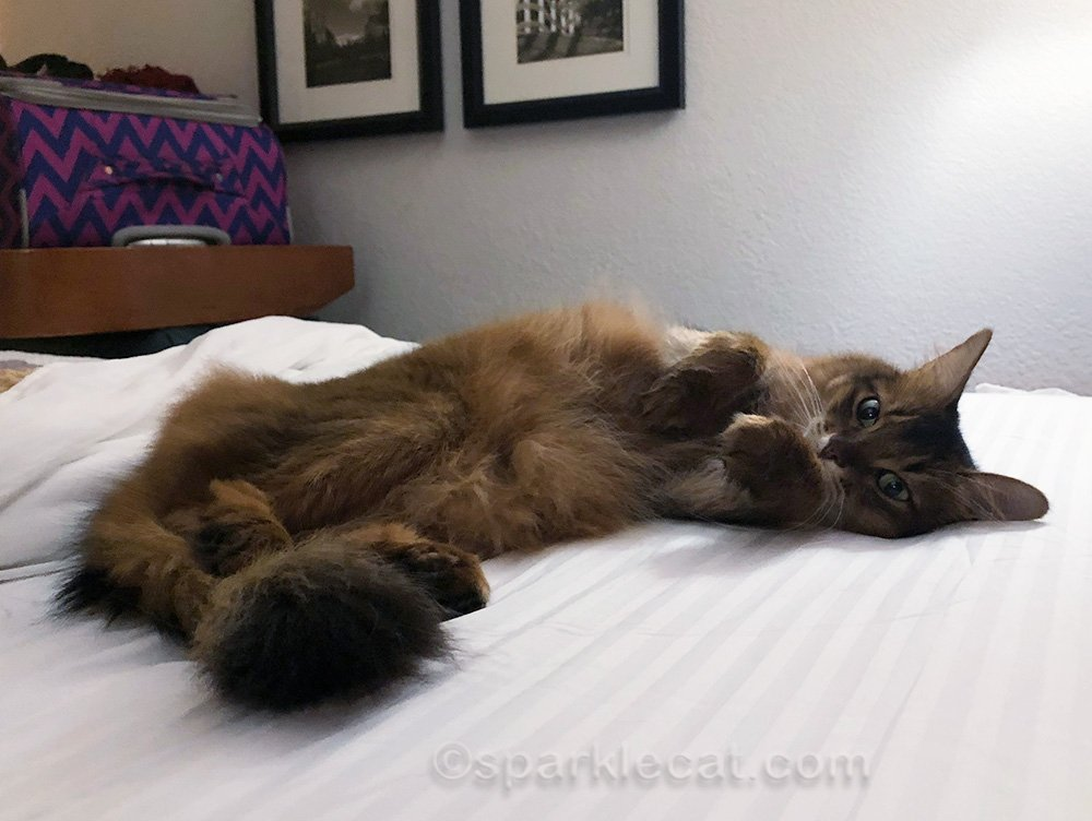 somali cat getting ready for bed at the hotel