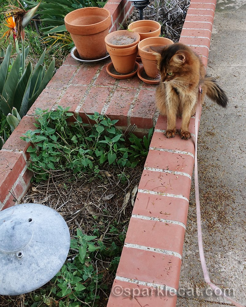 somali cat disappointed about how sparse her nip garden is