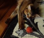 somali cat keeps her eye on orange sparkle ball