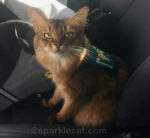 somali cat in therapy cat vest