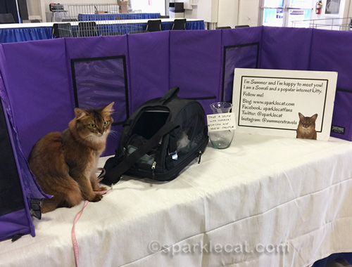 somali cat in her grooming space before the cat show opens