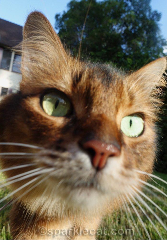 somali cat staring into the camera lens