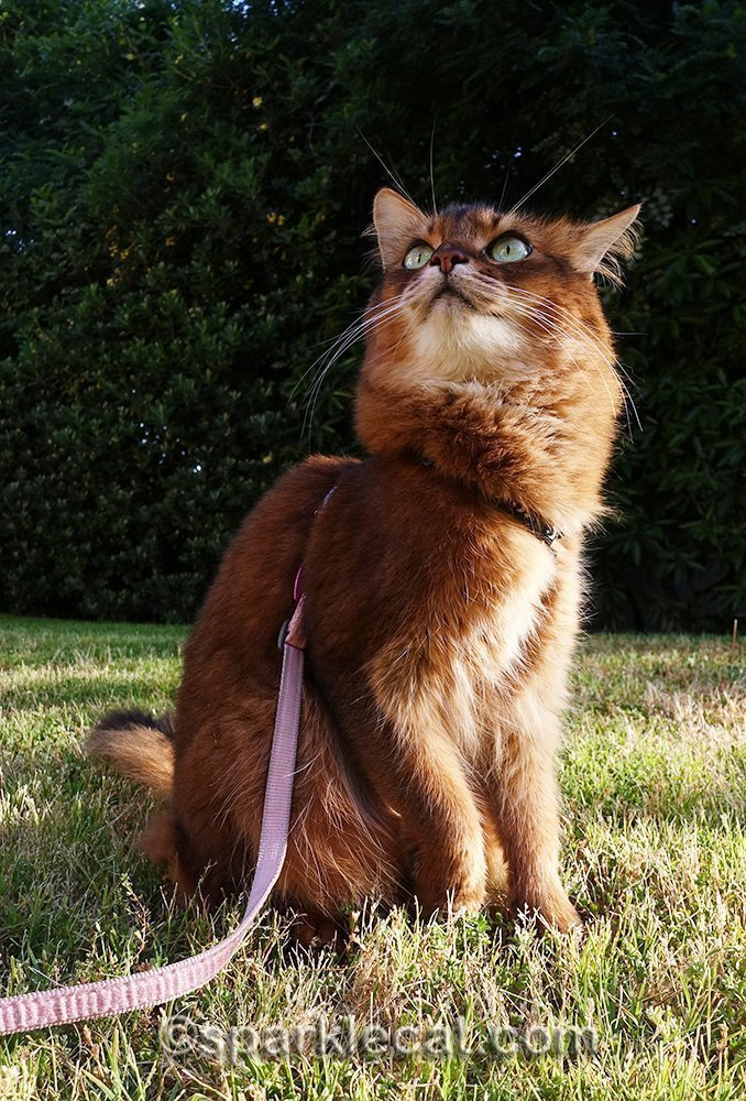 somali cat looking at the sky with dread