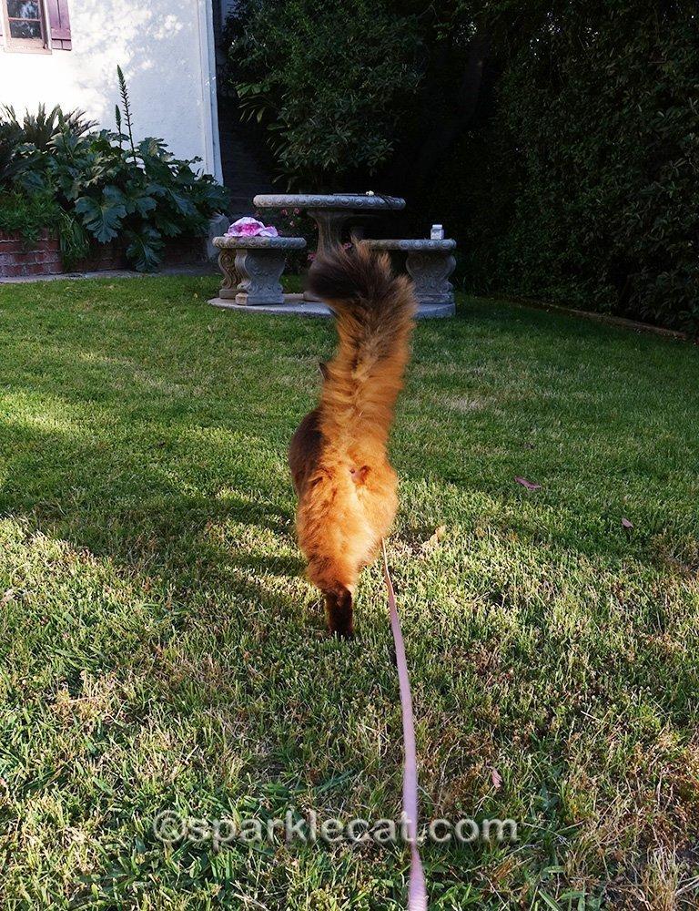 somali cat walking back to concrete table