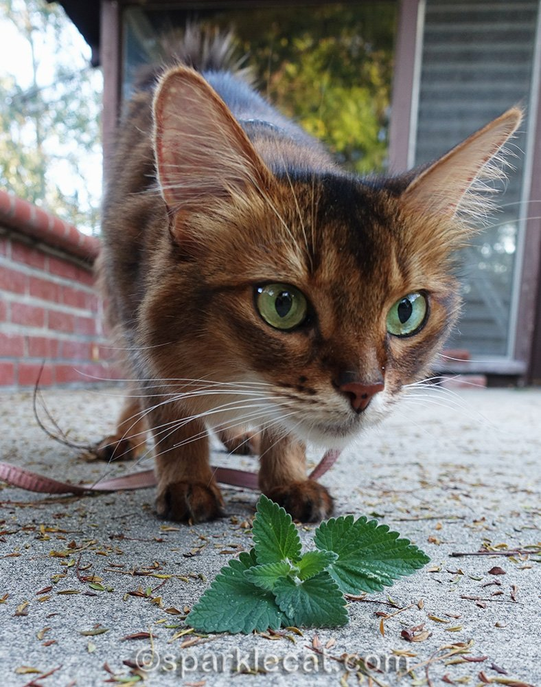 There is fresh catnip in the garden and Summer is nipped out.