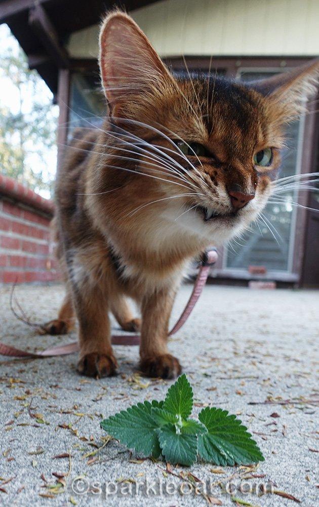 Somali cat indulging in fresh catnip