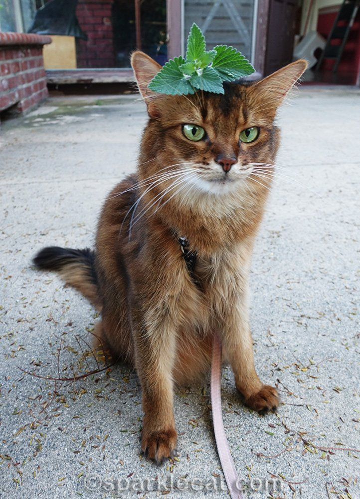 somali cat confused about catnip on her head