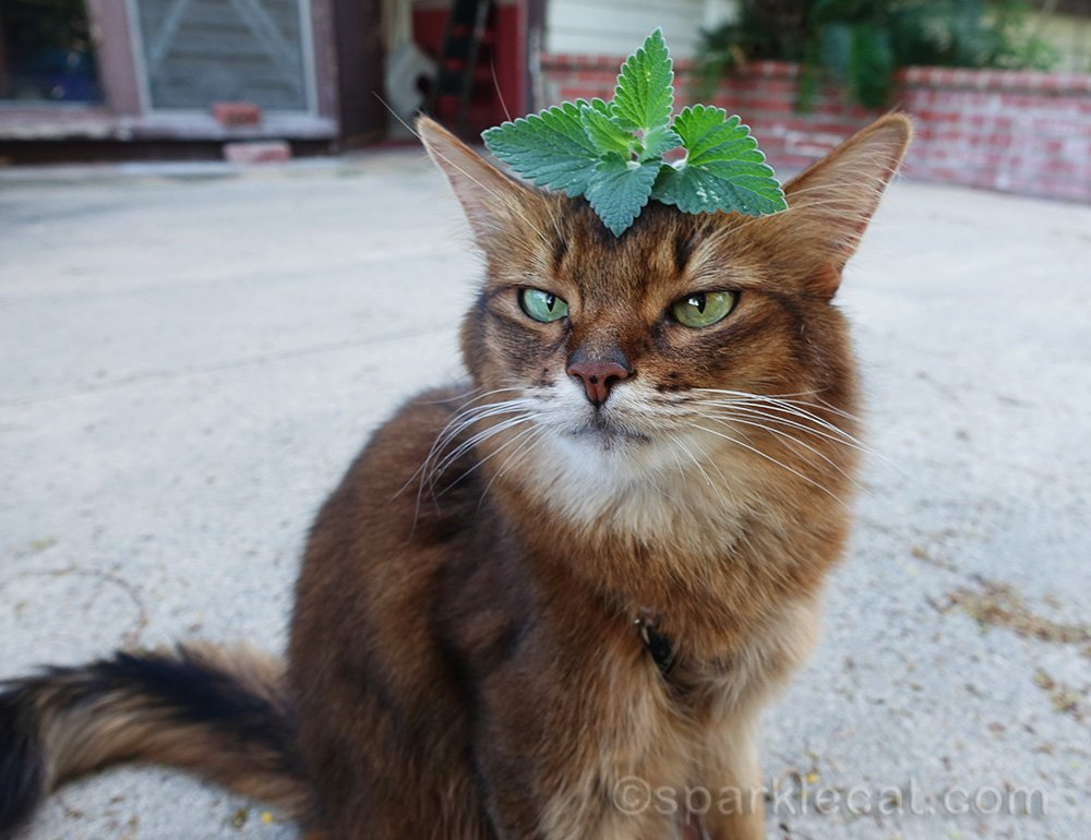 somali cat not thrilled about nip on her head.