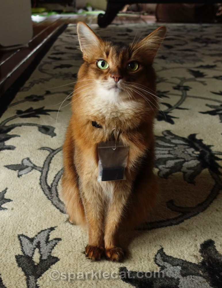 Somali cat wearing Fitbit in bag around her neck