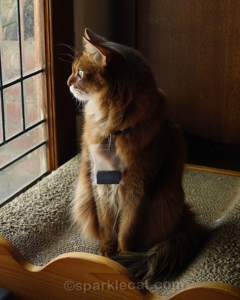 somali cat wearing fitbit and looking out window