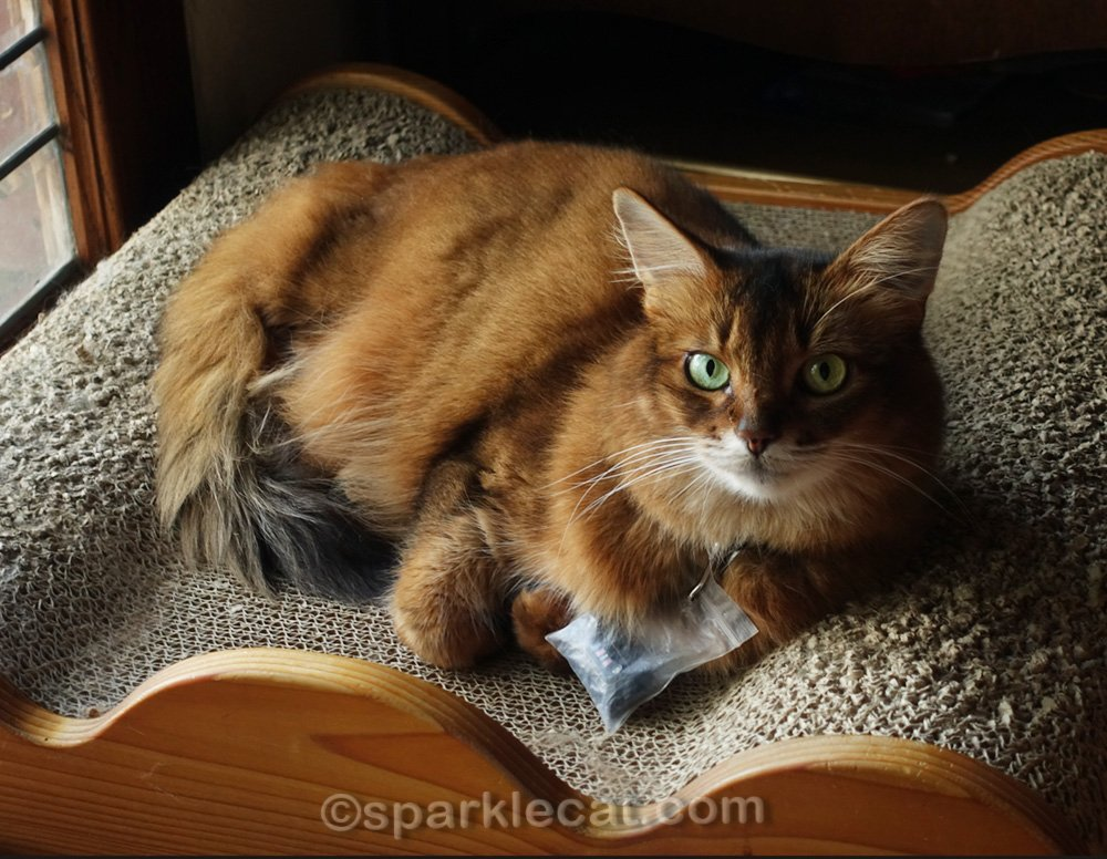 somali cat getting ready to nap on scratch lounger