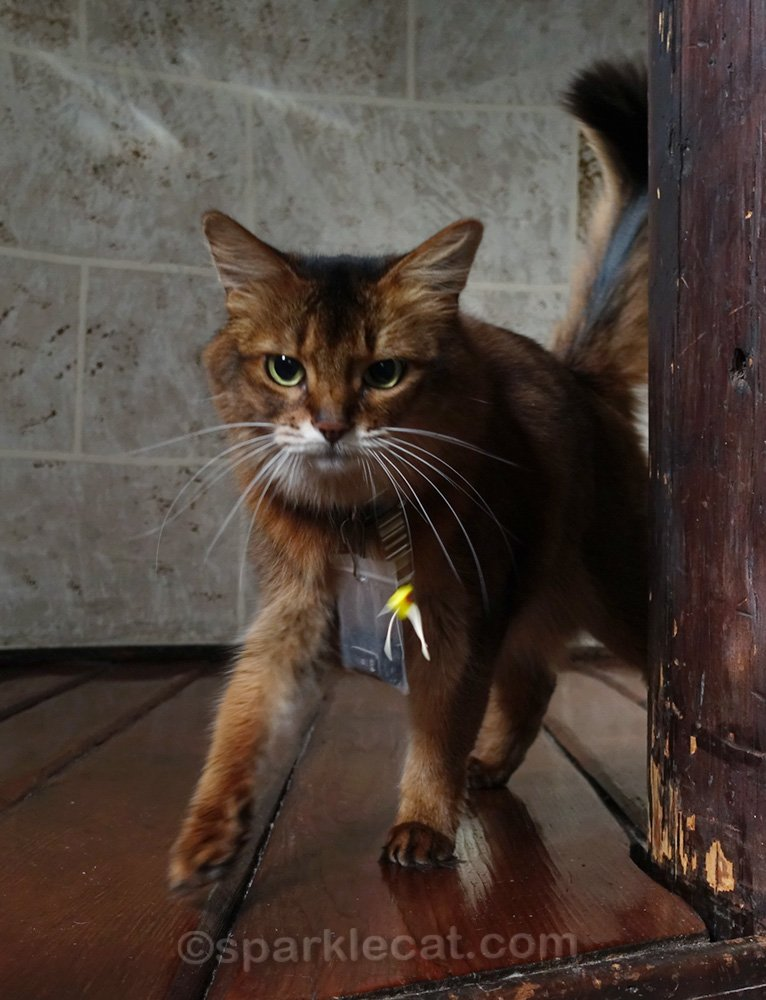 somali cat with fitbit on, playing in turret