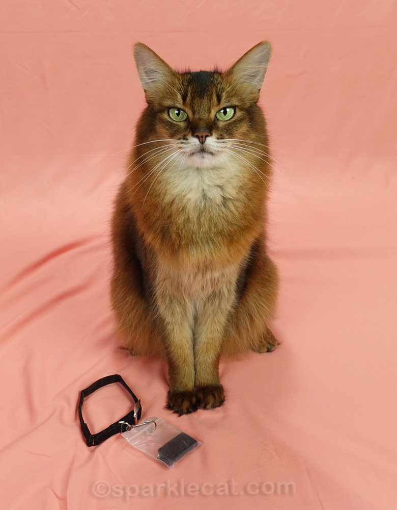 somali cat with fitbit off for photo session