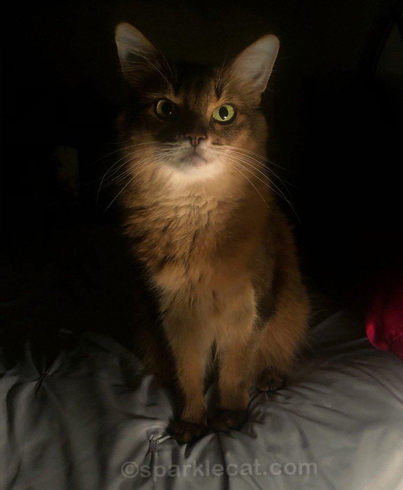 somali cat, ready for bedtime