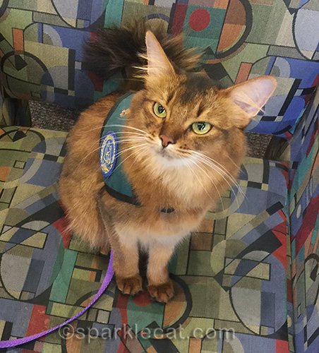 somali cat in waiting room during her therapy cat visit