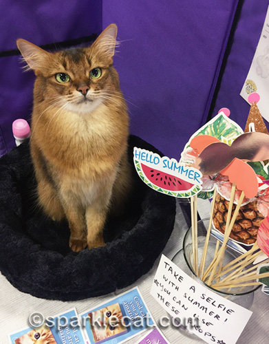 somali cat posing with a selfie prop