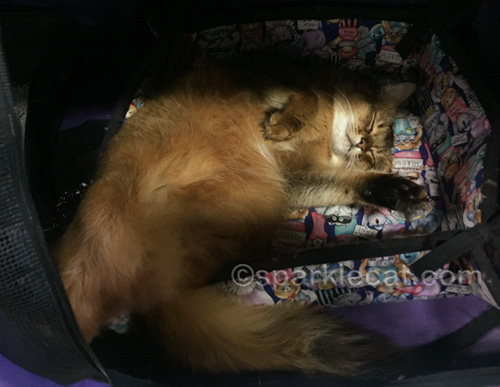 somali cat after a fun first day at the pet expo