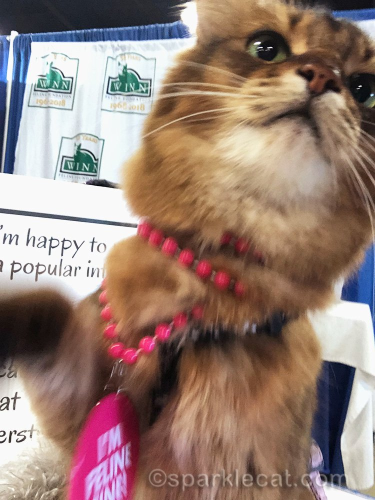 somali cat at Pet Expo, reaching for iPhone