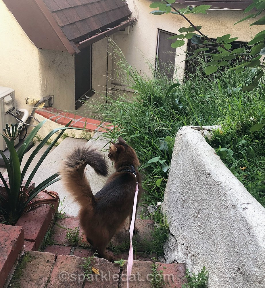 somali cat looking at overgrown built in planters