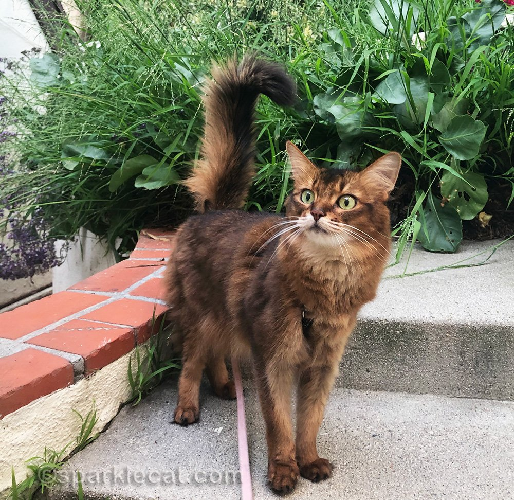 somali cat surrounded by poorly done gardening job