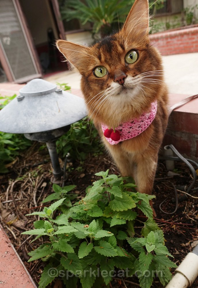 somali cat happy that her new catnip plant is doing well