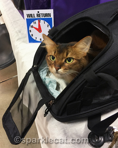 somali cat packed up after day at pet expo