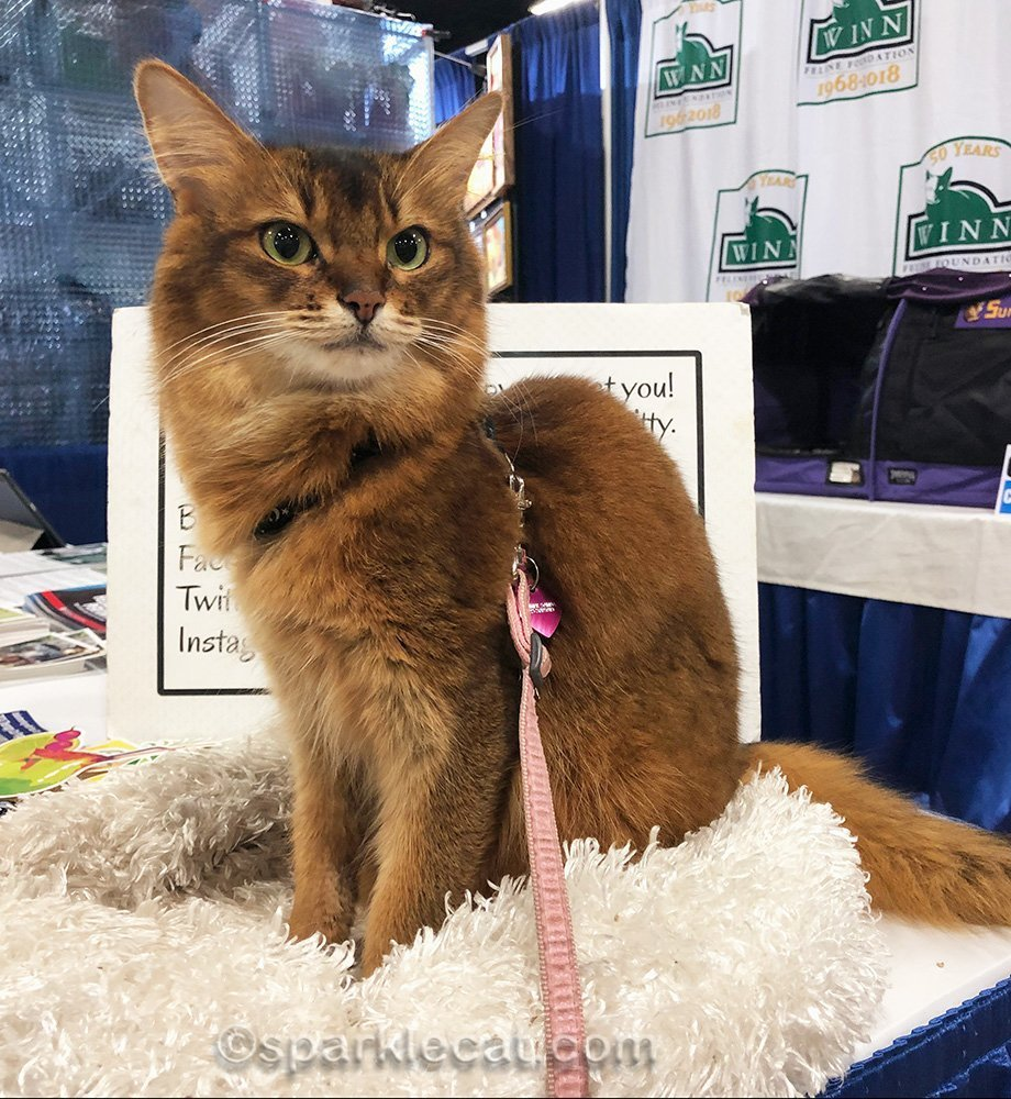 somali cat posing at pet expo