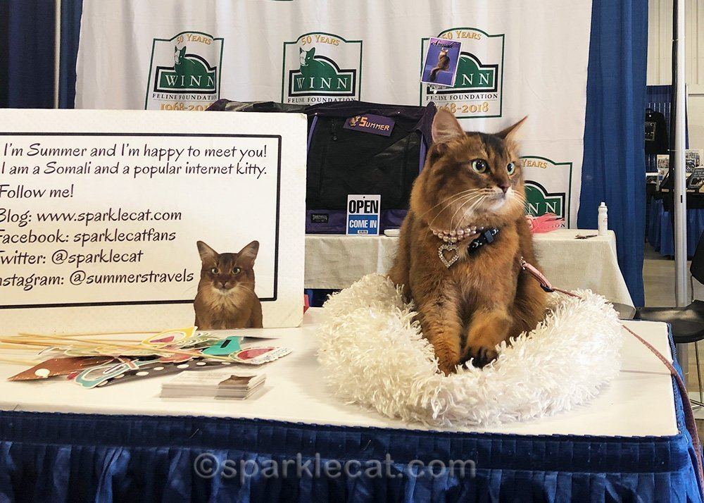 somali cat on bed on table at pet expo