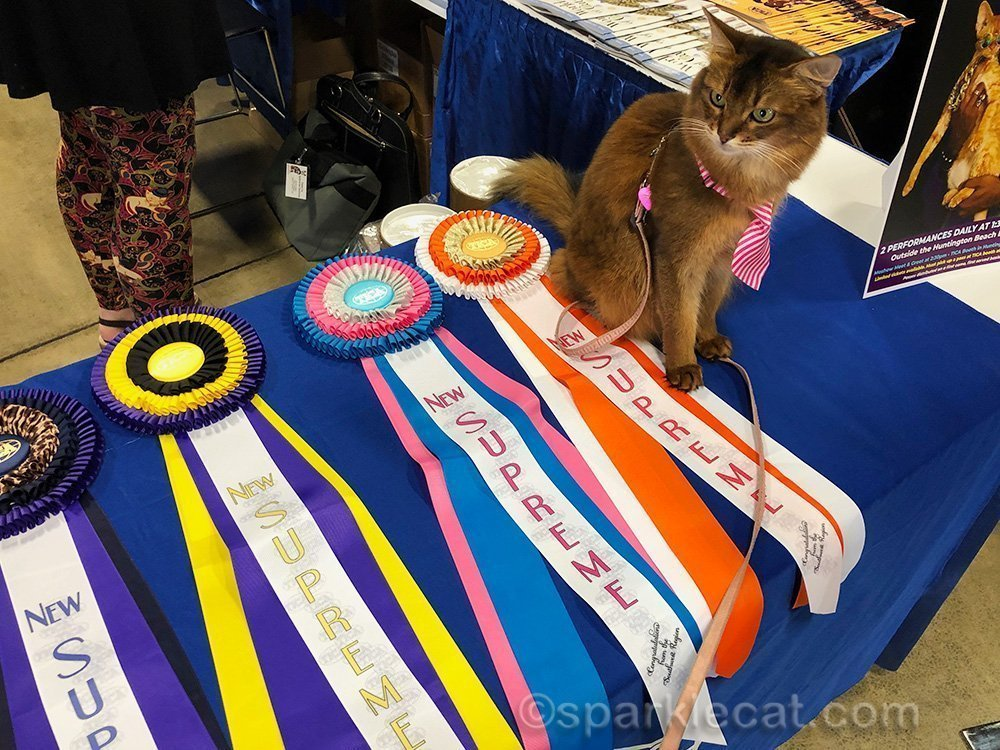 somali cat sitting with TICA New Supreme ribbons