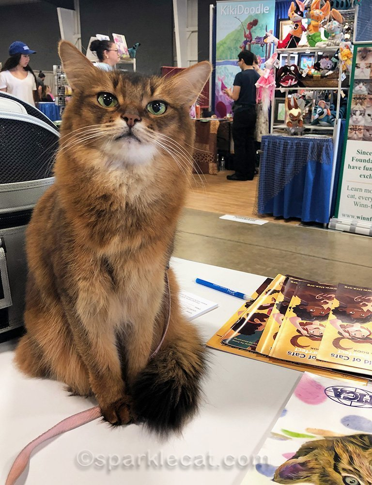somali cat sitting at TICA booth