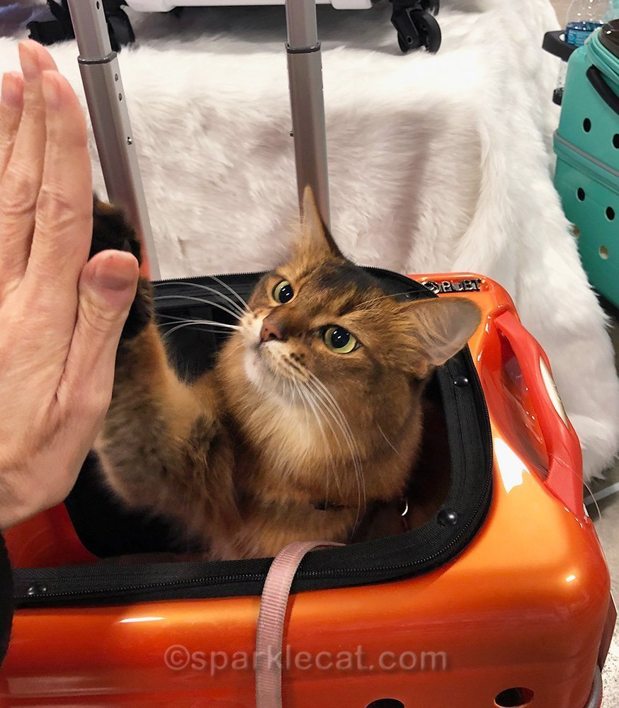 somali cat giving human a high five while in carrier