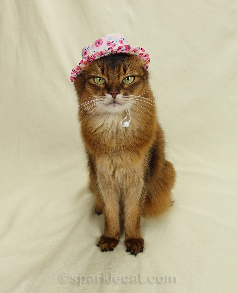 somali cat wearing ugly hat