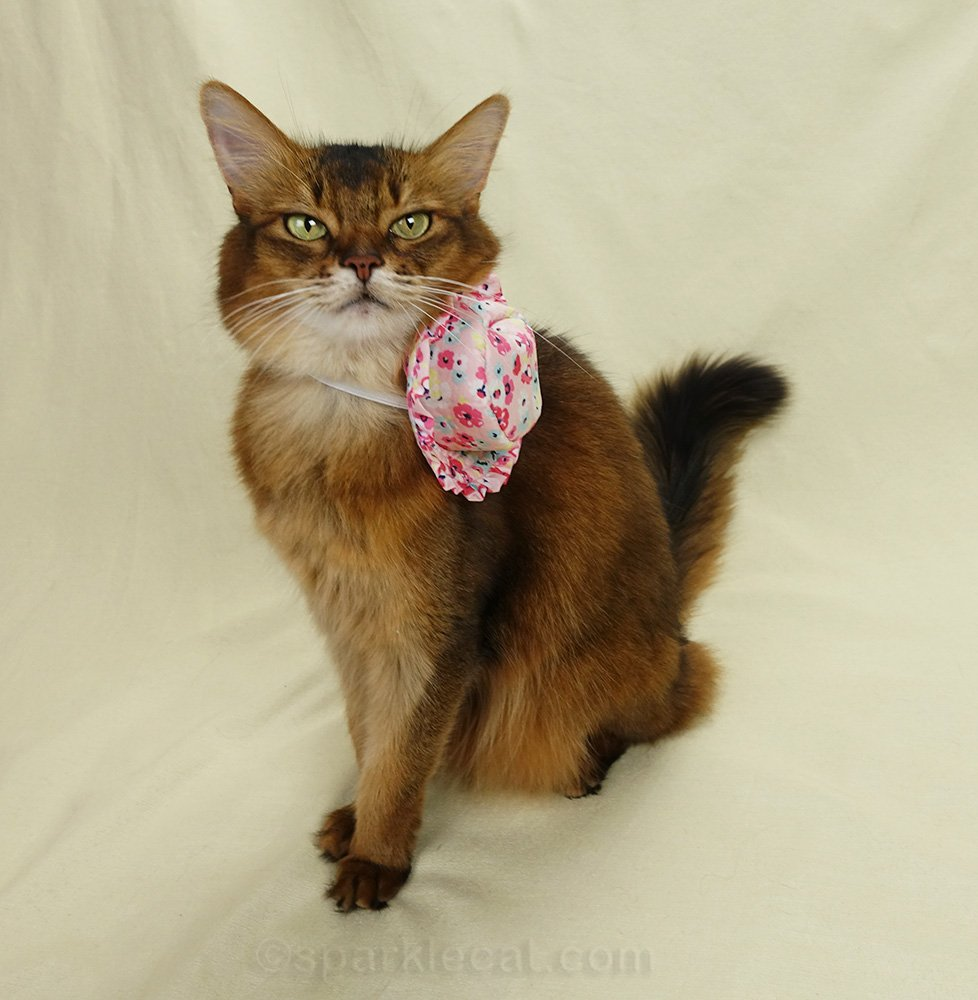 somali cat wearing ugly hat around neck.