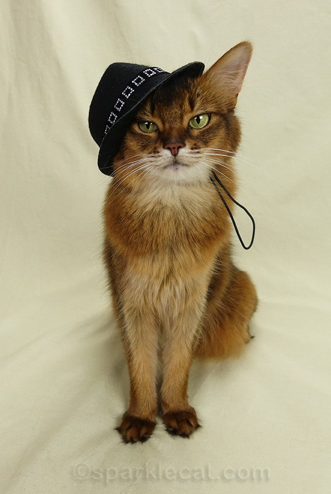 somali cat with badly fitting fedora