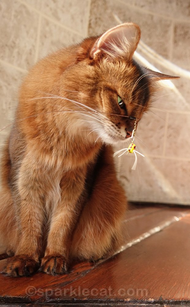 somali cat with tiny flying cat toy
