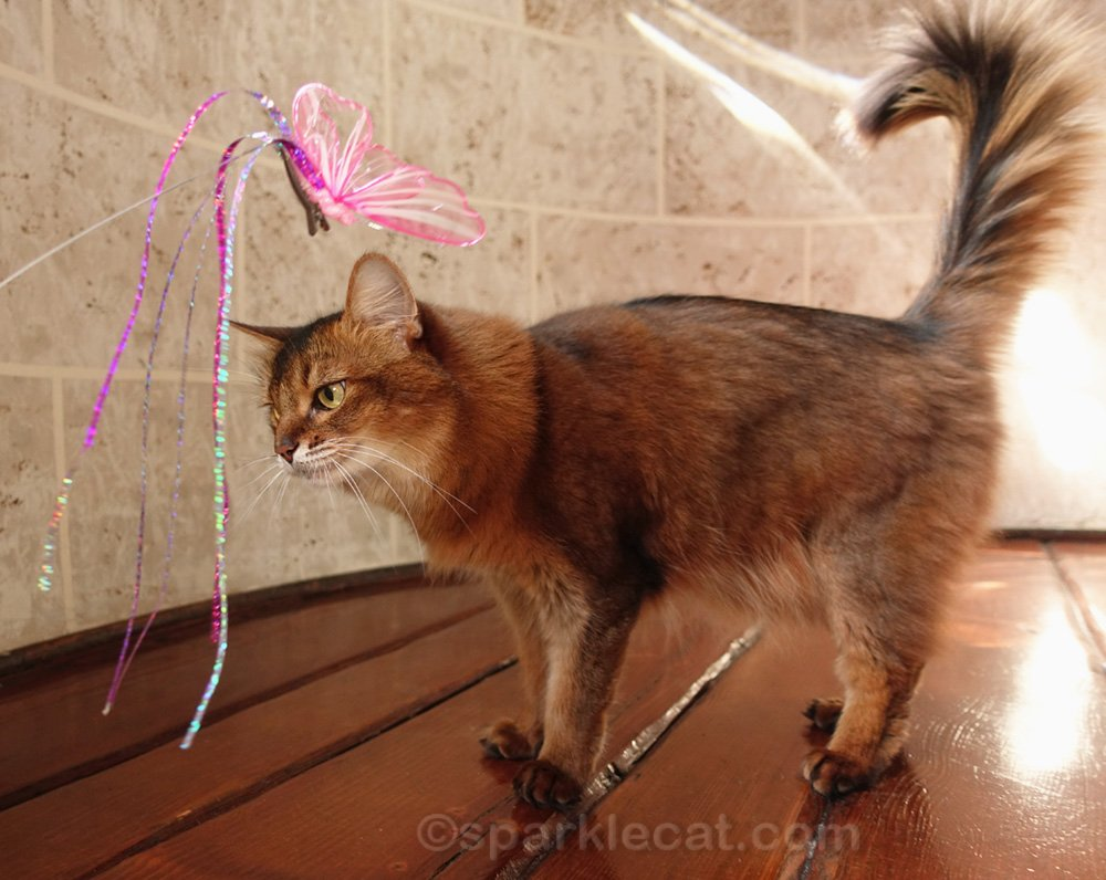 somali cat with butterfly cat toy