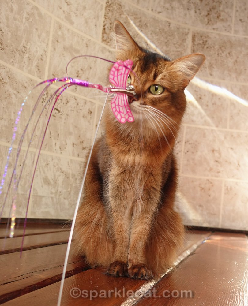 somali cat with dragonfly cat toy