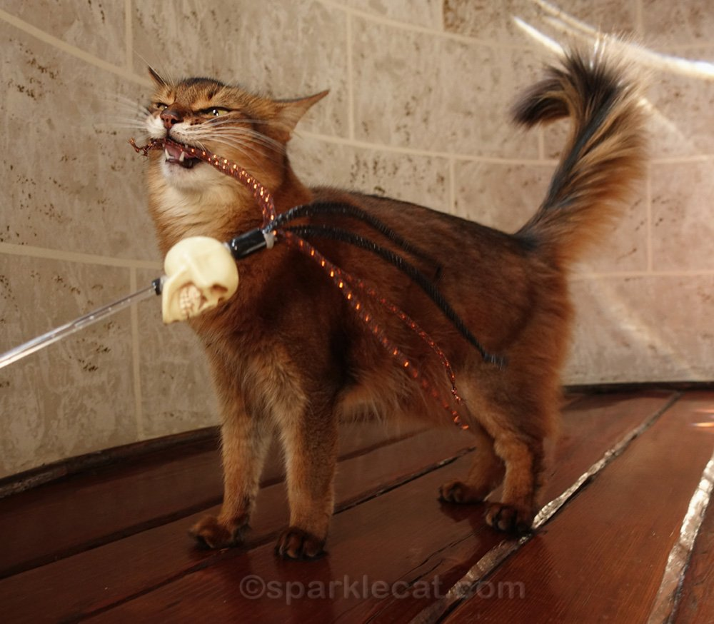 somali cat playing with skull cat toy
