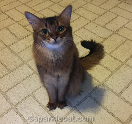 somali cat sitting in kitchen at home, after a cat show