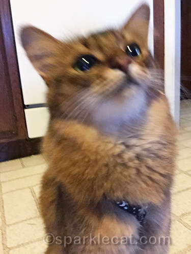 somali cat getting ready to take selfies at home
