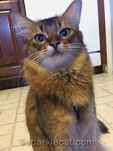 somali cat taking selfie at home
