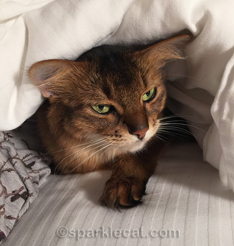 annoyed somali cat under bed covers